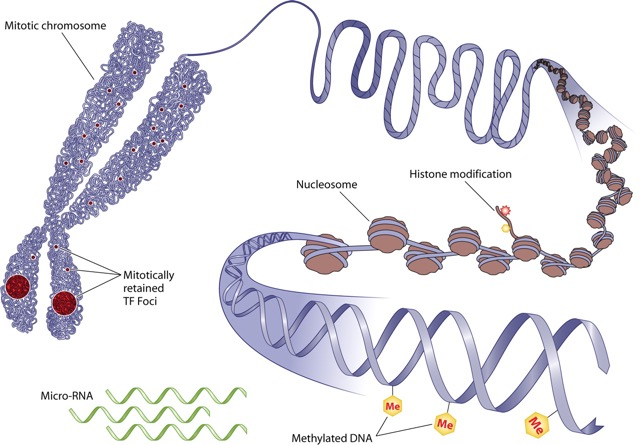 Mechanisms-of-epigenetics