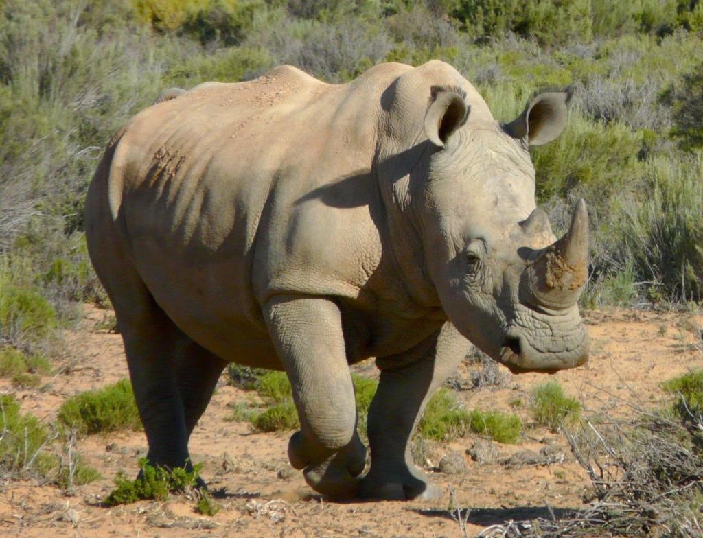 Rhinoceros-White