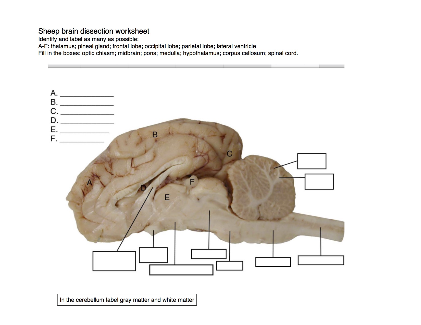 Brain Dissection Diagram No Labels - DIY Enthusiasts Wiring Diagrams •
