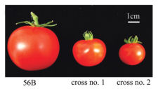 Miraculin tomato