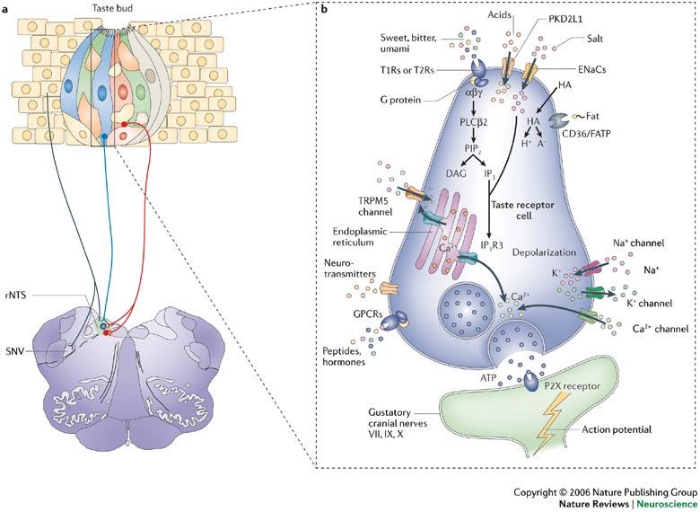 Taste receptor receptors