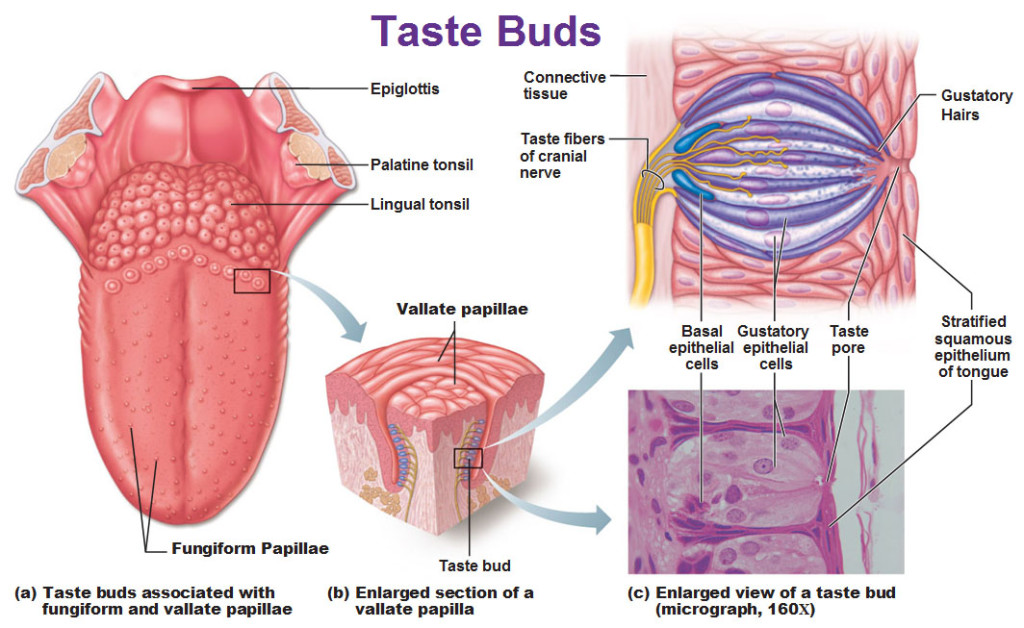 taste-buds-fungiform-papillae-vallate-papilla-gustatory-hairs-stratified-squamous-epithelium-of-tongue-taste-fibers-of-cranial-nerves